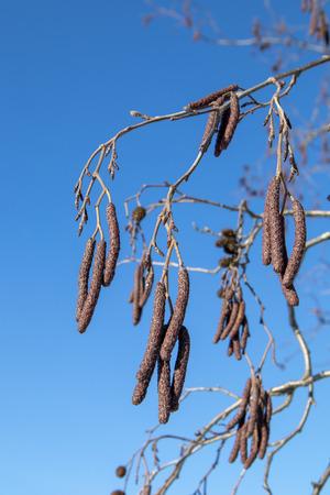 Alnus glutinosa, European alder branches against blue sky, Finland
