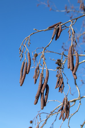Alnus glutinosa, European alder branches against blue sky, Finland Archivio Fotografico - 118651254