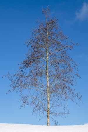 grey alder, Alnus incana, against blue sky at winter, Finland
