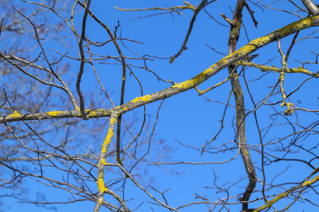 tree branches covered with lichen against blue sky Stock Photo