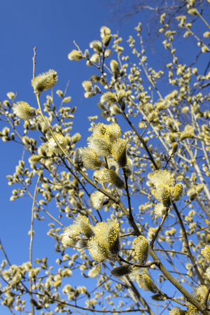 willow blooming Stock Photo