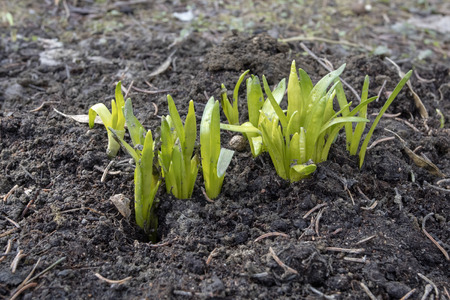 Narcissus shoots emerging at spring