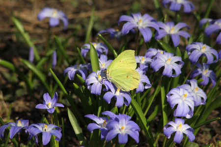 Gonepteryx rhamni, common brimstone butterfly on Glory-of-the-Snow flower at spring, Finland