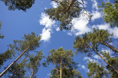 Pinus Sylvestris pines against blue sky, Finland Imagens