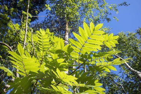 rowan leaves against blue sky, Finland