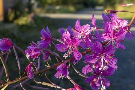 Chamaenerion angustifolium, rosebay willowherb flowers