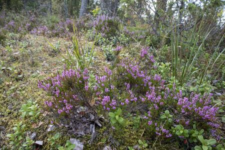 Common heather and other forest floor plants, Finland