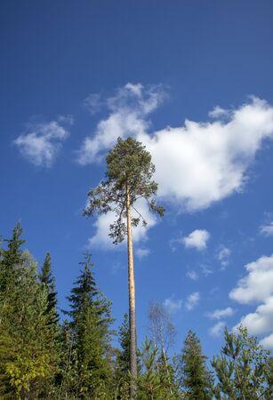 Pinus sylvestris pine tree against blue sky, Finland