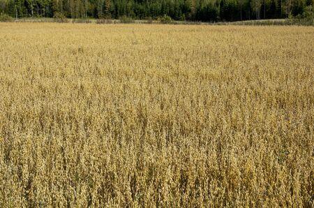 Ripe oat field before harvesting, Finland