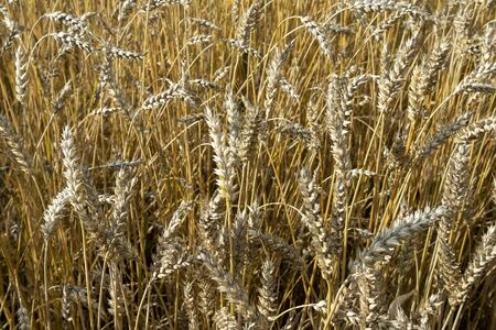 Ripe common wheat field before harvesting, Finland Imagens - 131843776