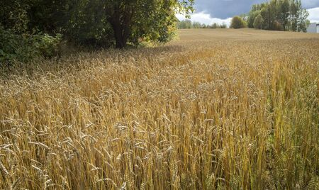 Ripe common wheat field before harvesting, Finland Stock Photo