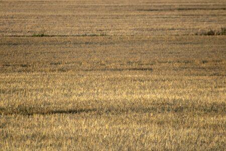Ripe barley field before harvesting Imagens - 131843823