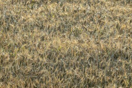 Ripe barley field before harvesting