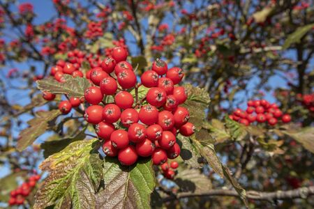 Sorbus × hybrida berries against blue sky, Finland Imagens - 131800818