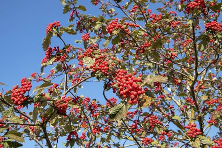 Sorbus × hybrida berries against blue sky, Finland
