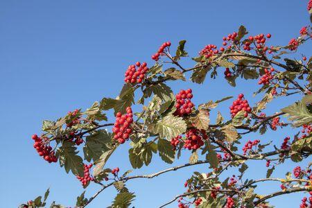 Sorbus × hybrida berries against blue sky, Finland Imagens - 131843826