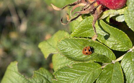 Seven-spotted ladybug on Beach rose leaf, Finland
