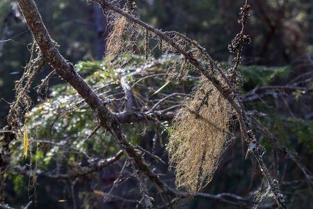 Usnea barbata on tree branch Imagens