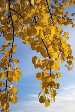 yellow aspen tree leaves in october Imagens - 131840480