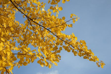 yellow aspen tree leaves in october