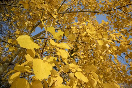 yellow aspen tree leaves in october Imagens - 131841348