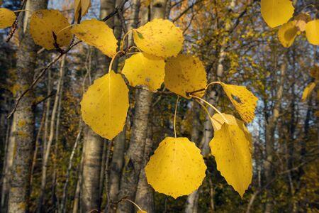 yellow aspen tree leaves in october Imagens - 131841032