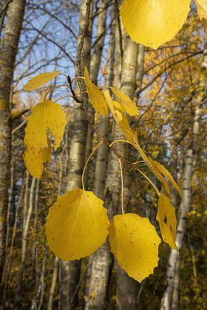 yellow aspen tree leaves in october Imagens - 131840699