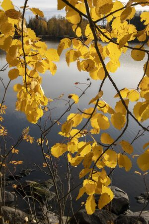 yellow aspen tree leaves in october Imagens - 131841057