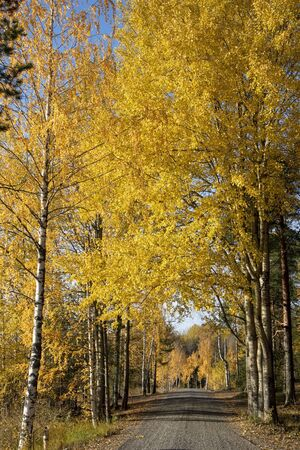yellow aspen and birch tree leaves in october