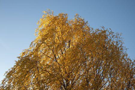 yellow birch tree autumn foliage against blue sky Imagens