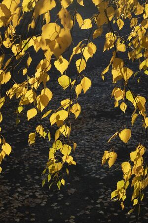 yellow birch tree autumn foliage against sunlinght Imagens