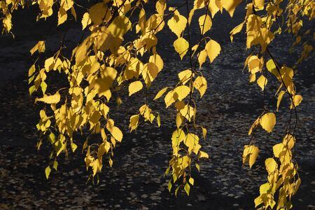 yellow birch tree autumn foliage against sunlinght Imagens - 132673911