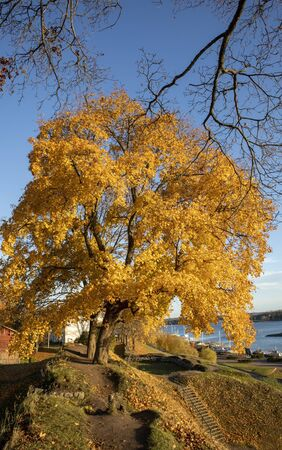yellow maple tree autumn foliage in city park, Lappeenranta Finland