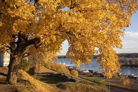 yellow maple tree autumn foliage in city park, Lappeenranta Finland Imagens - 132673957