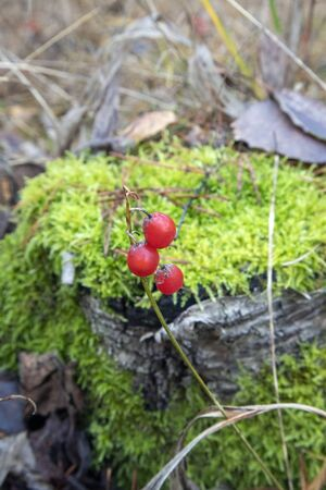 Red Lily of the valley berries against green moss, Finland