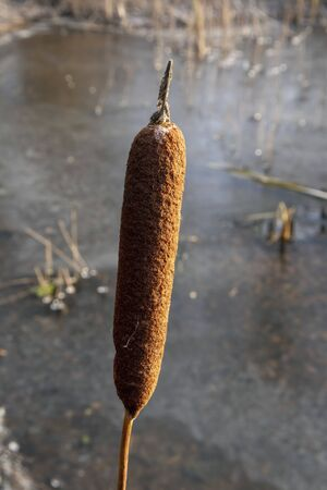 bulrush seed head against frozen water, Finland