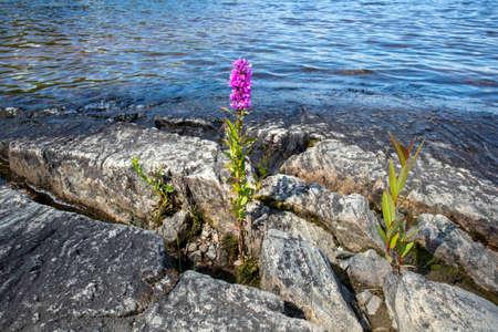 Lythrum salicaria, Purple loosestrife, Finland Stock Photo