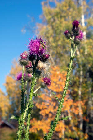 Cirsium vulgare, the spear thistle Imagens