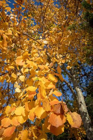 colourful aspen leaves in autumn
