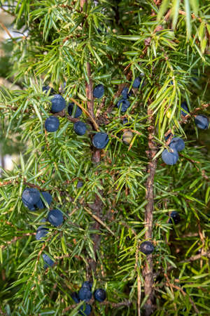 common juniper with blue berries
