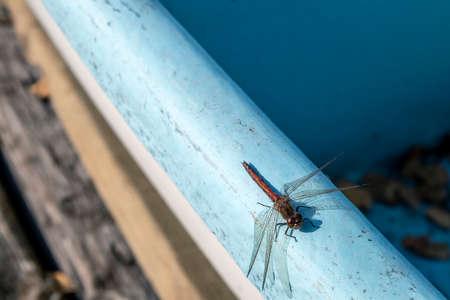 Vagrant darter, Sympetrum vulgatum dragonfly resting in sunlight