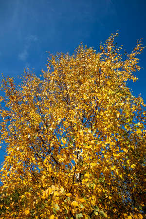 colourful birch leaves in autumn