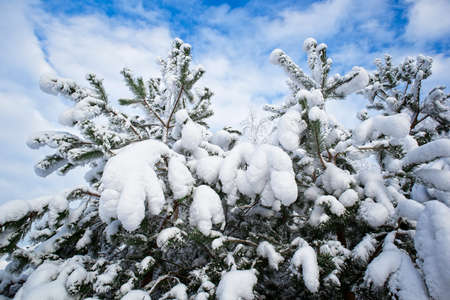 view of the snowy pine trees