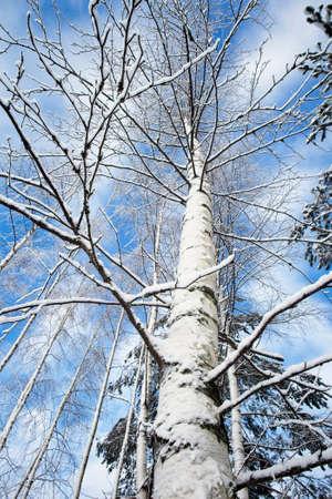 snowy birch tree trunk