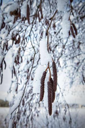 Snow covered alder tree branch Imagens