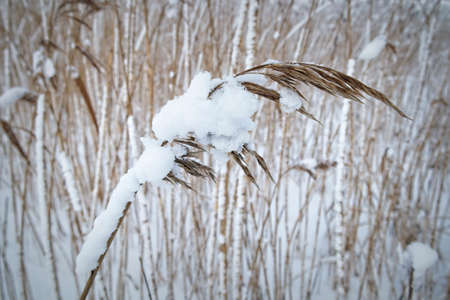 snow covered reeds at winter Imagens