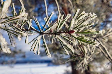 Pine needles in snow and hoarfrost Imagens