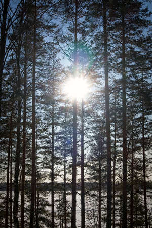 Sun shine through pine trees