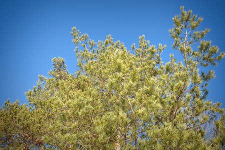 green pine tree top against  blue sky