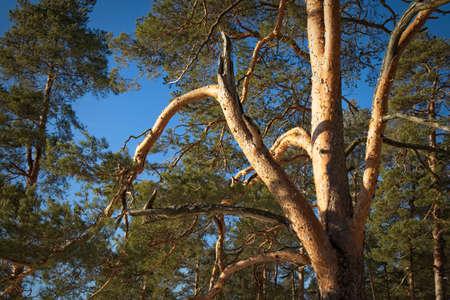 old pinus sylvestris pine tree